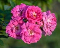 Viejas y nuevas floraciones rosadas de Rosa Gallica Officinalis Fotografía de archivo libre de regalías