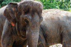 Viejo cierre de la cabeza del elefante para arriba foto de archivo