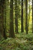 Viejo crecimiento del bosque cubierto de musgo Fotografía de archivo libre de regalías