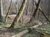 Viejo día soleado del bosque de la primavera, abril Fotografía de archivo