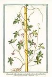 Viejo ejemplo botánico de los digitatis de los foliis de Quamoclit ilustración del vector