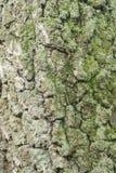 Viejo fondo de la textura de la corteza de abedul Imagenes de archivo