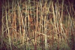 Viejo fondo de la textura de las plantas de la hierba seca Foto retra del vintage con el uso de los filtros de color Imagenes de archivo