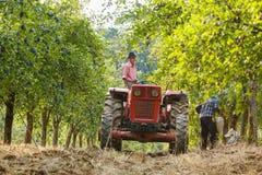 Viejo granjero con el tractor que cosecha ciruelos Imagenes de archivo
