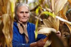 Viejo granjero de sexo femenino en la cosecha de maíz Imagen de archivo libre de regalías