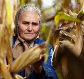 Viejo granjero de sexo femenino en la cosecha de maíz Fotografía de archivo libre de regalías