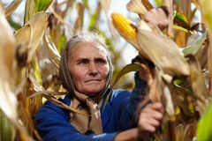 Viejo granjero de sexo femenino en la cosecha de maíz Fotos de archivo