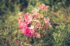 Viejo grupo color de rosa Fotografía de archivo