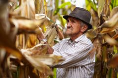Viejo hombre en la cosecha de maíz Imágenes de archivo libres de regalías