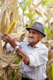 Viejo hombre en la cosecha de maíz Fotografía de archivo libre de regalías