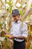 Viejo hombre en la cosecha de maíz Imagen de archivo