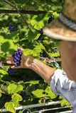 Viejo hombre que escoge las uvas rojas imagen de archivo libre de regalías