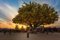 Viejo hombre que mira fijamente un gran árbol fotos de archivo libres de regalías