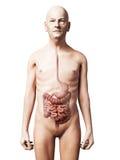 Viejo hombre - sistema digestivo Imagen de archivo libre de regalías