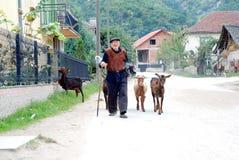 Viejo hombre y sus cabras que van a casa después de pasto en el pueblo cerca de la ciudad de Strumica, Macedonia Fotos de archivo libres de regalías