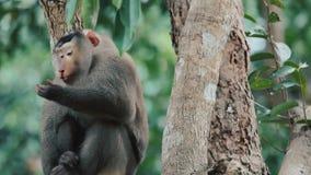 Viejo líder herido del mono almacen de video