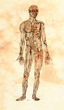 Viejo modelo anatómico foto de archivo libre de regalías