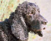 Viejo negro del perro Fotografía de archivo libre de regalías