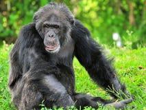 Viejo pensamiento del chimpancé Fotografía de archivo