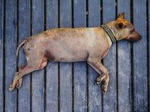 Viejo sueño del perro Foto de archivo libre de regalías