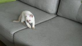 Viejo-tipo tailandés gato siamés del gato almacen de metraje de vídeo