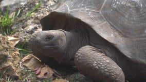 Viejo, vida de la tortuga de la tierra en la isla 2 metrajes