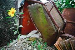 Viejo y oxidado contra la nueva vida - girasol fotos de archivo libres de regalías