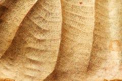 Viejo y seco fondo de la textura de la hoja de la teca Fotografía de archivo libre de regalías