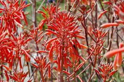 Viel Aloe Vera Flowers Lizenzfreie Stockfotos