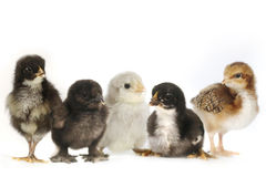 Viel Baby Chick Chickens Lined Up auf Weiß stockfotografie