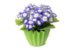 Viel blüht blauer Cineraria in einem grünen Blumentopf stockbilder