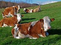 Viel Brown und weiße Kühe, die auf der grünen Wiese in der Landschaft von Bayern sich entspannen lizenzfreies stockbild