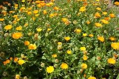 Viel gelber und orange Calendula blüht in der Natur tapete Lizenzfreie Stockfotos