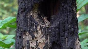 Viel-gesäumtes oder allgemeines multifasciata Sun Skink Eutropis in der Baum-Höhle stock video footage