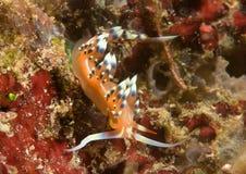 Viel gewünschtes oder wünschenswertes flabellina exoptata steht auf Koralle von Bali still Lizenzfreies Stockfoto