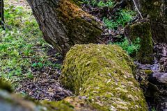 Viel grünes nasses Moos auf der Barke des Baums Großes Waldmoos mit kleinen Blättern, Samen und Insekten stockfotografie
