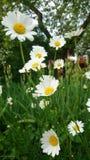 Viel Kamille im Garten Stockbild