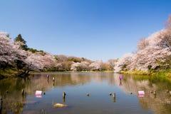 Viel Kirschbäume in einem Park Stockbilder