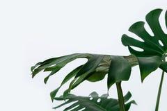 Viel lässt weißes unterschiedliches tropisches Beschaffenheitsgrün Musterhintergrund natürliche Postkarte der schönen Kunst frisc Stockfotografie
