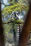 Viel Maki catta in einem Baum lizenzfreie stockbilder