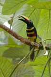 Viel-mit einem Band versehenes pluricinctus Araçari - Pteroglossus - Reserve Cuyabeno-wild lebender Tiere, Ecuador Stockfotografie