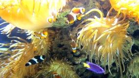 Viel Nemo Fish, Amphiprions-Floss zwischen Koralle Unterwasserübersicht am Meeresboden stock video footage
