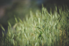 Viel Reis im Garten Lizenzfreies Stockbild