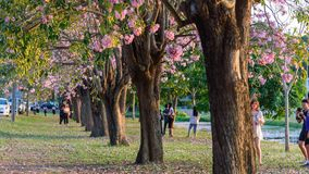 Viel Reisender an der rosa Trompetenbaumreihe für Nehmen das Foto stock video footage