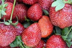 Viel rohe rote Erdbeere Lizenzfreies Stockfoto