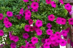 Viel rosa Petunie lizenzfreie stockbilder