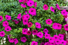 Viel rosa Petunie stockfoto