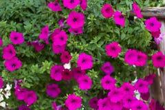 Viel rosa Petunie lizenzfreies stockbild