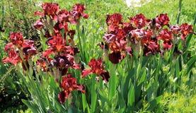 Viel Rot-Iris Lizenzfreie Stockfotos