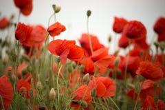 Viel roter Poppy Flower Close Up-Hintergrund lizenzfreie stockbilder